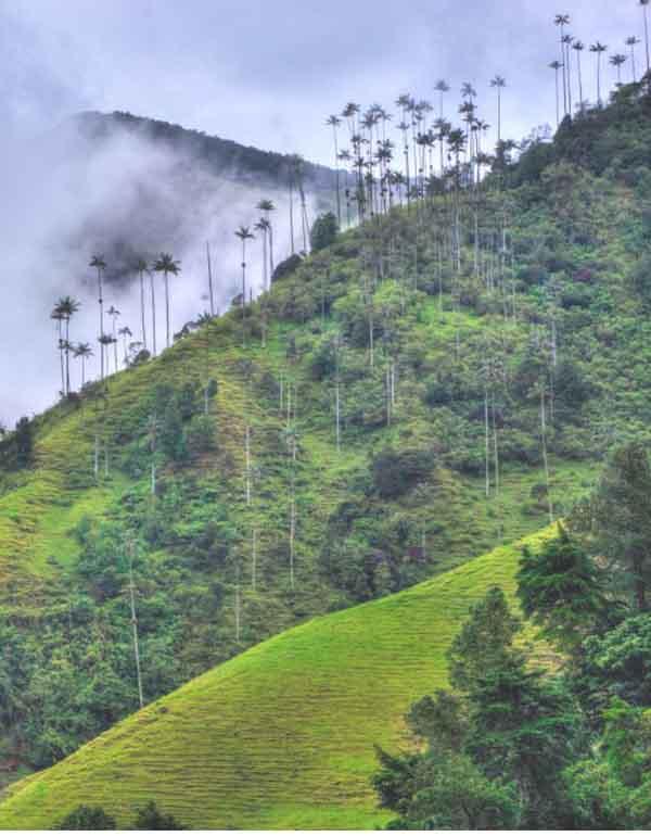 Най-високите палми на света в Саленто, Колумбия