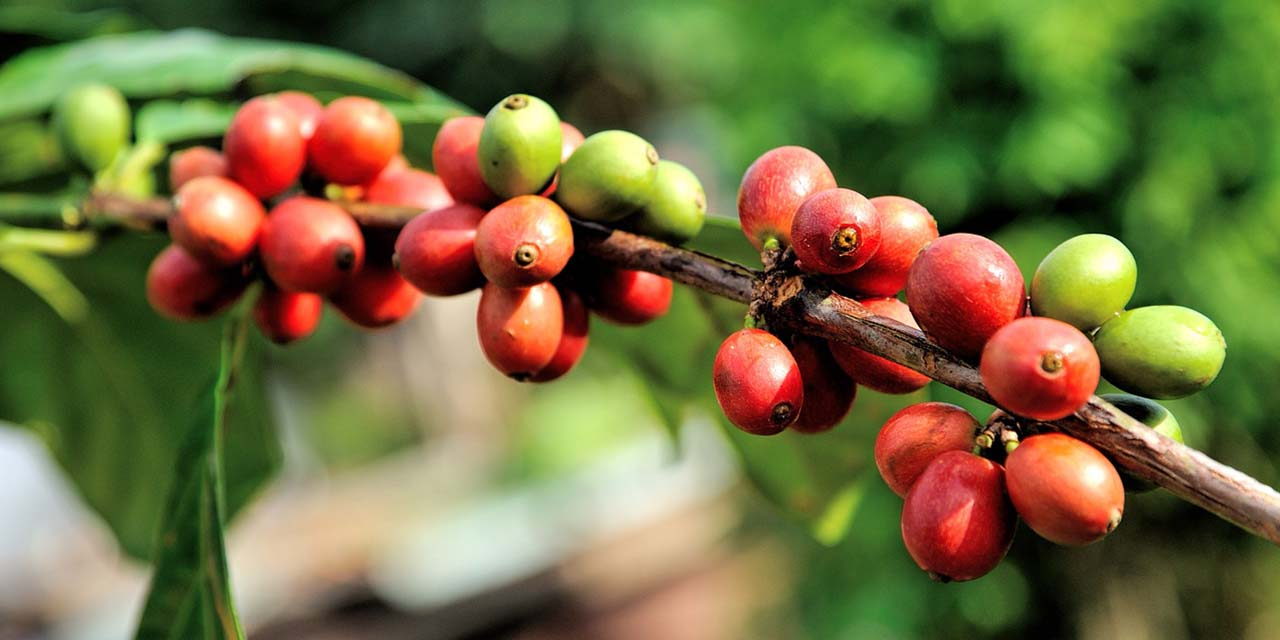 coffee beans plant salento colombia 1280 640