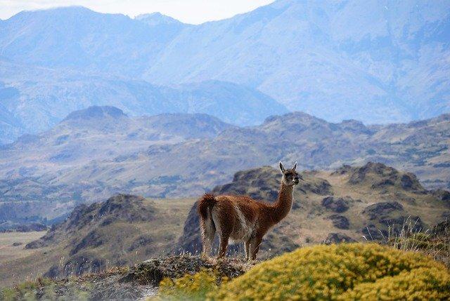 patagonia guanaco torres del paine