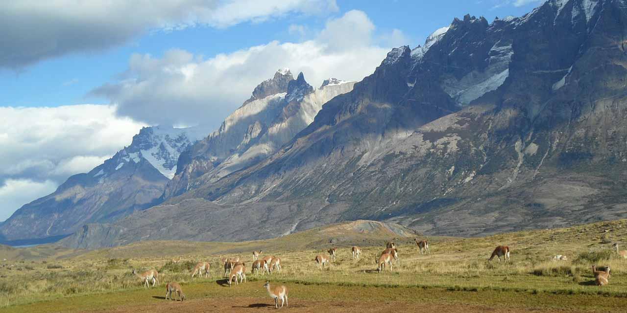 patagonia guanaco 1